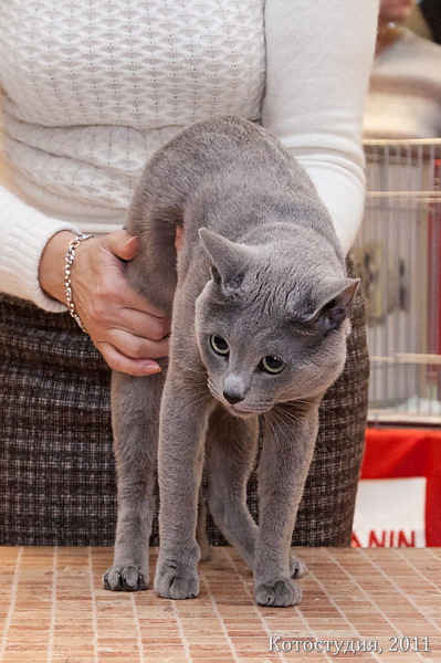 Выставка кошек, Воронеж, WCF ринг, русский голубой кот