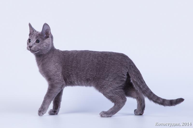 русская голубая кошка воронеж
