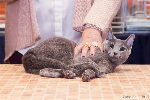 русская голубая воронеж котенок