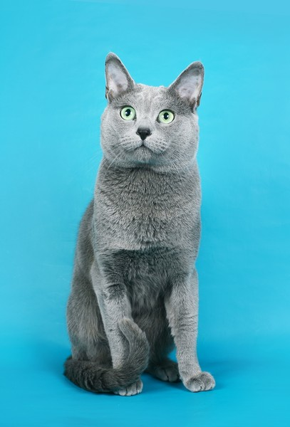 русский голубой кот