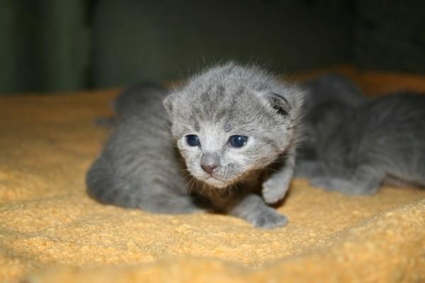 Августин Сокровище Королей русский голубой котенок